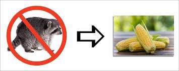 How To Keep Raccoons Out Of Sweet Corn Nite Guard