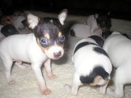 akc ukc toy fox terrier puppies