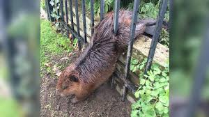 570 News Kitchener On Twitter Fat Beaver Stuck In Fence Freed By Soapy Hands Of Hamilton City Worker Https T Co Vuelrjg4on