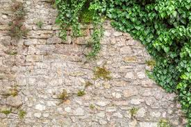 Old Stone Wall With Ivy As Background Stock Photo, Picture And Royalty Free  Image. Image 51173703.