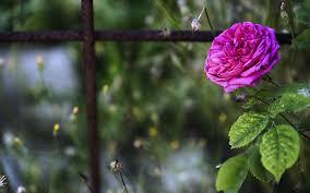 flower wallpaper hd love romance