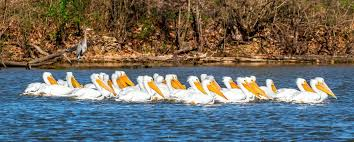 swimming-pelicans   The Tennessee Magazine