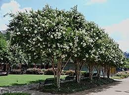 Amazon.com : 6 Pack - Natchez (White) Crape Myrtle Trees : Garden ...