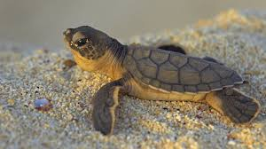 baby turtle wallpaper 54 images