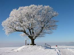 Image result for snowy tree pictures