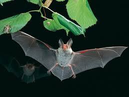 File:Myotis bechsteinii-flying1.jpg - Wikimedia Commons