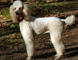 what is the best dog food for poodles