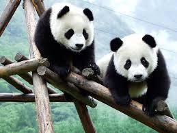 panda bear playing panda eating image