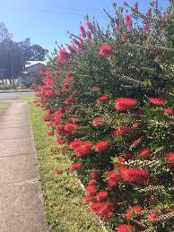 Callistemon Bottle Brush Hedge Flowering Australian Native Hedging Plants Native Garden Australian Native Garden