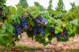 List Of Fruits That Grow On Vines