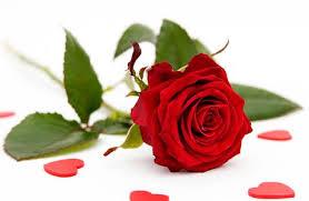 solid berjangka cara merawat mawar agar cepat berbunga