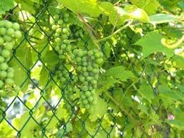 How To Train Grapes On A Chain Link Fence Chain Link Fence Garden Vines Fence Plants