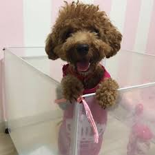 toy poodle for adoption on carousell