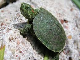 cute turtle wallpaper 19279 baltana