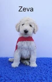 Image result for blind foundation dogs. Luci