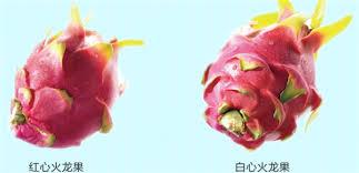 火龙果图片火龙果盆栽图片火龙果是仙人掌吗- 鲜淘网