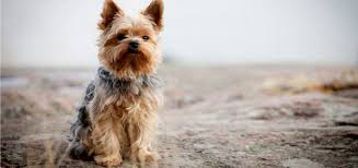 the yorkie coat facts care grooming