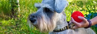 miniature schnauzer dog breed facts