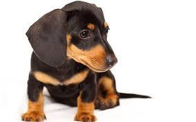 dachshund puppy dog snout
