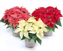 gift size poinsettia in basket