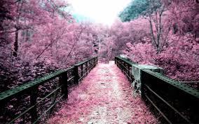 landscapes cherry blossoms flowers