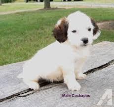 maltipoo apoo toy poodle pups