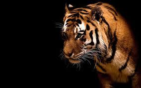 Tiger خلفيات النمر