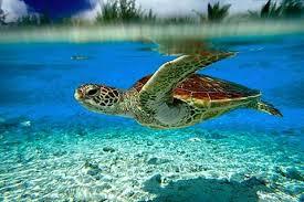turtle wallpapers sf wallpaper
