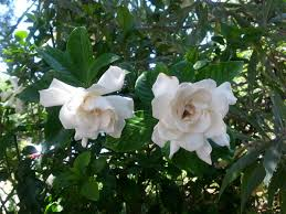 gardenias while difficult to grow