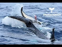orca mating in the bremer canyon you