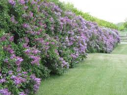 If You Are A Little Bored With Your Generic Vinyl Or Brick Fence A Living Fence May Be A Good Option For Yo Fence Landscaping Privacy Plants Backyard Fences