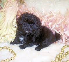 purebred poodle mix designer puppies