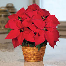 poinsettia gift care instructions