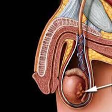 Los testículos |  Quedar embarazada