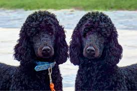 standard poodle adoption lovetoknow