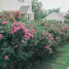 Beauty Privacy Health And Protection In One Crimson Pink Flowering Rose Hedge The Rosa Rugosa Rose Produces Hundreds Of Beautif Rose Hedge Rose Fence Hedges