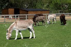 Donkies Grazing, Ada Cole Rescue Centre, Redwings Horse Sanctuary,.. Stock  Photo, Picture And Royalty Free Image. Image 76821332.