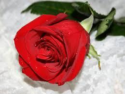صور ورود حب رومانسية ليدي بيرد