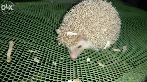 Cinnicot Hedge For Sale Philippines Find New And Used Cinnicot Hedge On Olx Animal Lover Reptiles And Amphibians Pets