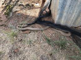 Warwick Holding On Twitter Snake Netting Gets Them Every Time Caught Two Snakes Outside The Chock House Today Nylon Bird Netting From Bunnings Simply Lay It On The Ground With A Few