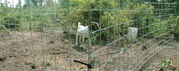 Goats And Weed Control