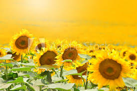 yellow sunflowers background wallpaper