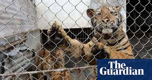 It S Really Good Stuff Undercover At A Chinese Tiger Bone Wine Auction Illegal Wildlife Trade The Guardian