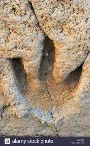The footprint of a dinosaur in the mudflats of Glen Rose Texas ...