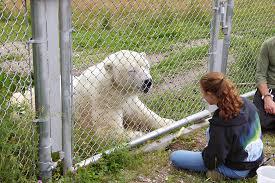 Cochrane Polar Bear Habitat Northern Ontario Travel
