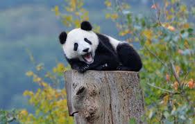 wallpaper autumn forest panda bear