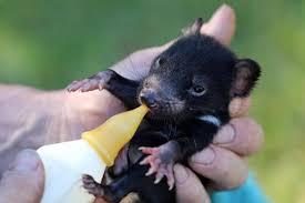 Il Diavolo della Tasmania torna a casa! Dopo 3mila anni, liberati in natura  26 esemplari - GreenMe.it