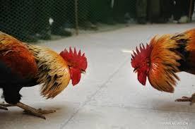 Ayam Bangkok: 8 Ciri Fisik Ayam Bangkok Kualitas Juara
