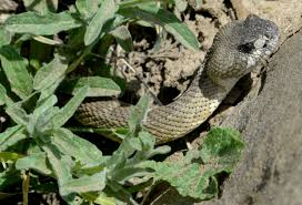 Rattlesnake Bites Are On The Rise In California Here S What To Do If You Get Bit