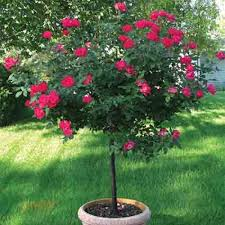 double knock out patio tree rose web
